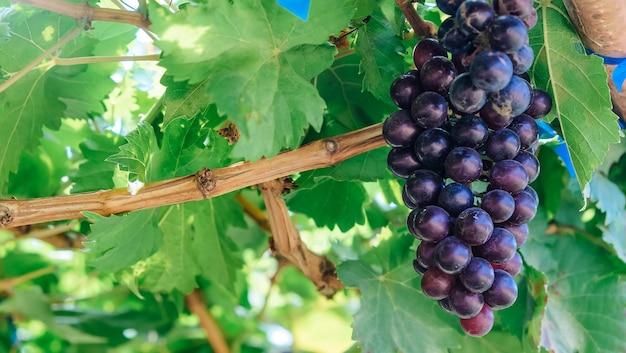 Lila rote trauben mit grünen blättern am rebstock. herbsternte.