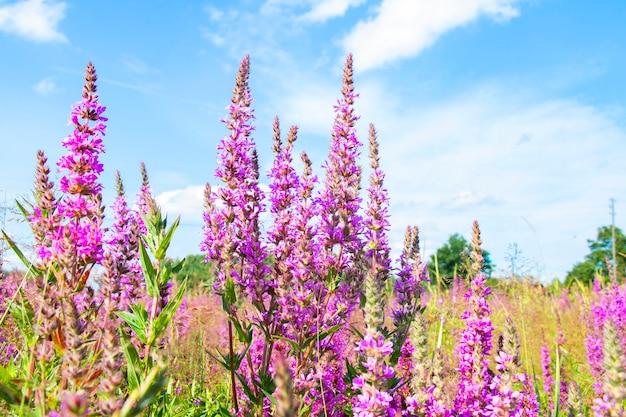 Lila salbeiblumen auf der wiese an einem sonnigen sommertag auf blauem himmelshintergrund