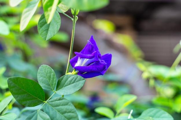 Lila schmetterlingserbsenblume blüht, nahaufnahme mit grünem hintergrund verlassen.
