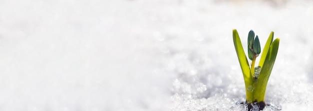 Lila schneeglöckchen blüht in einem verschneiten wald unter der schneevernahaufnahme