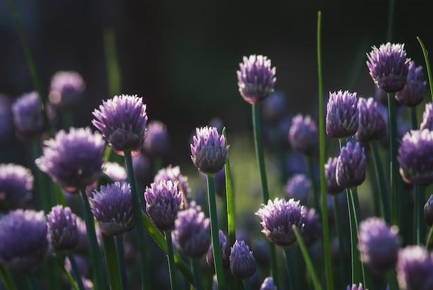 Lila schnittlauchblumen für naturhintergründe, dämmerungsabendlicht