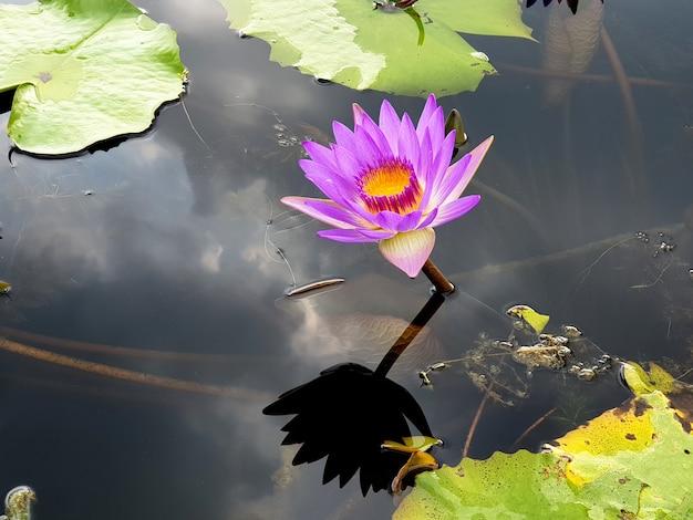 Lila seerose oder lotusblume mit der reflexion von wolken im hintergrund des blauen himmels