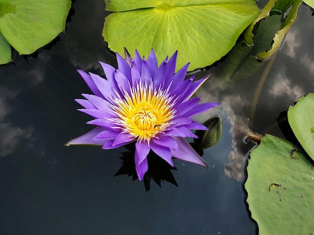 Lila seerose oder lotusblume mit grünem blatt im teich und reflexion von wolken am himmel