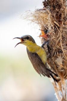 Lila sonnenvogel, der ein vogelbaby im vogelnest auf naturhintergrund füttert