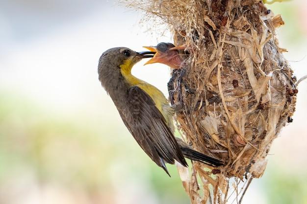 Lila sonnenvogel (weiblich), der vogelbaby im vogelnest füttert. (cinnyris asiaticus). vogel. tiere.