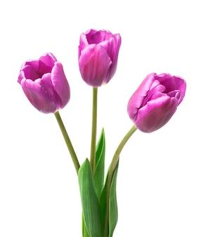 Lila tulpen isoliert auf weißem hintergrund
