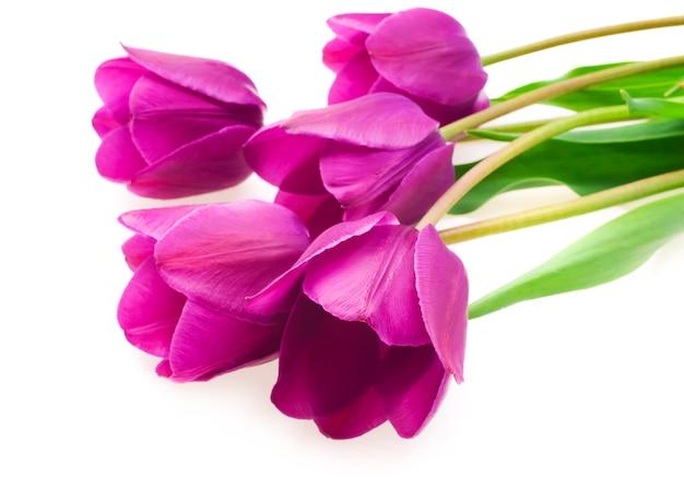 Lila tulpen isoliert