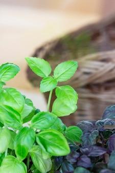 Lila und grüne basilika-plantage. frisches organisches grünes und violettes basilikum, das im garten wächst draufsicht auf viele frische grüne und violette basilikumpflanzenblätter grün, natürliches bio-lebensmittel des grünen gartens