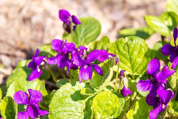 Lila violette blumen in der natur. selektiver fokus. naturblumen