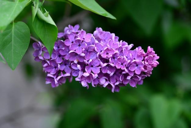Lilienblume detail