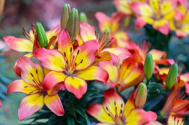 Lilienblume und grüner blatthintergrund im garten am sonnigen sommer- oder frühlingstag für schönheitsdekoration und landwirtschaft entwerfen. lily lilium hybriden.