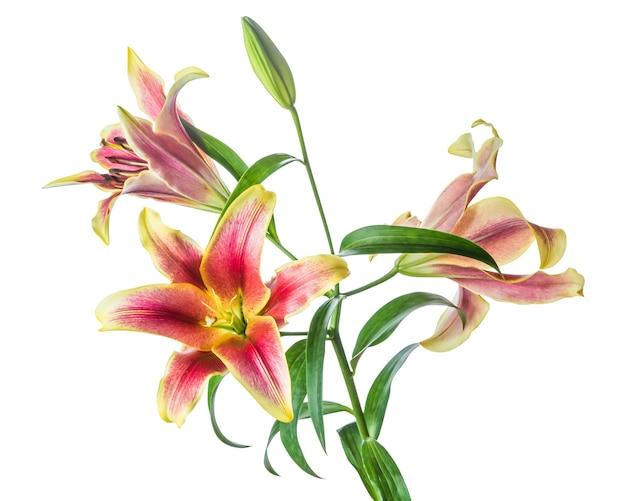 Lilienblumen isoliert