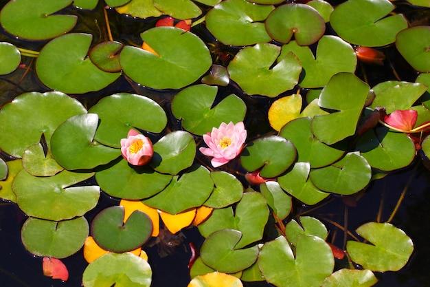 Lilienknospen blühen rosa unter blättern auf dem wasser.