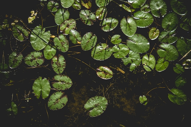 Lilly pads auf dem wasser hintergrund
