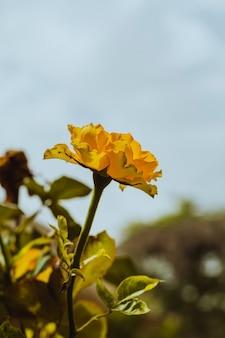Lily kesselring (lilium kesselringianum) ist in den bergen, nordkaukasus, russland