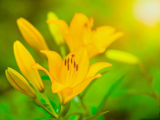 Lily orange blume der sorte royal trinity auf natürlichem hintergrund, natürlichem licht, sommerhintergrund, dekorative blume