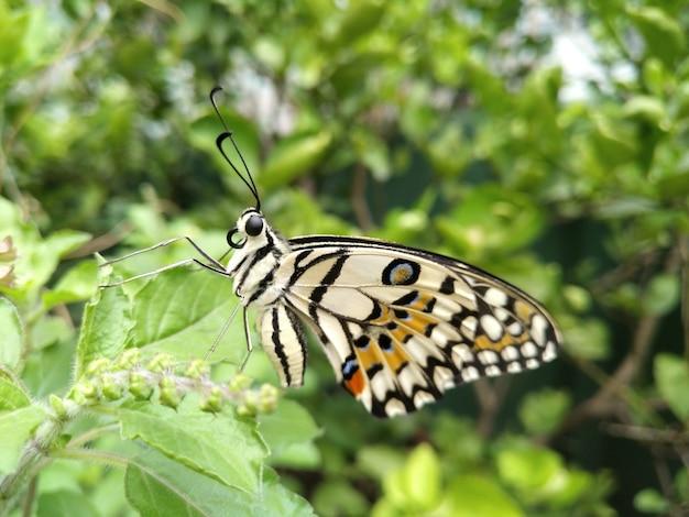 Lime butterfly (papilio demoleus, schwalbenschwanzschmetterling) bleibt noch auf grünen blättern