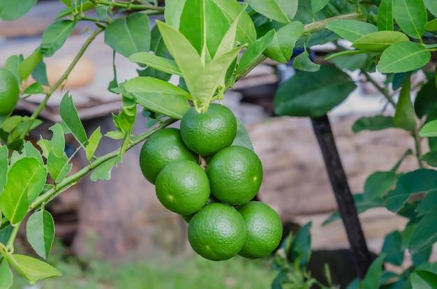 Limettenbaum mit früchten