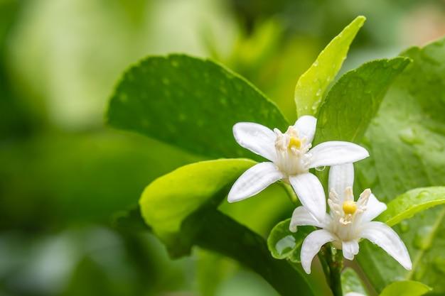 Limettenblumen, zitronenblüte auf baum, mit wassertropfen, im weichen unscharfen stil, auf grünem blatt verwischen hintergrund.