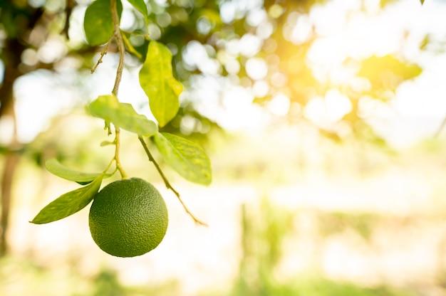 Linde mit fruchtnahaufnahme. foto in hoher qualität