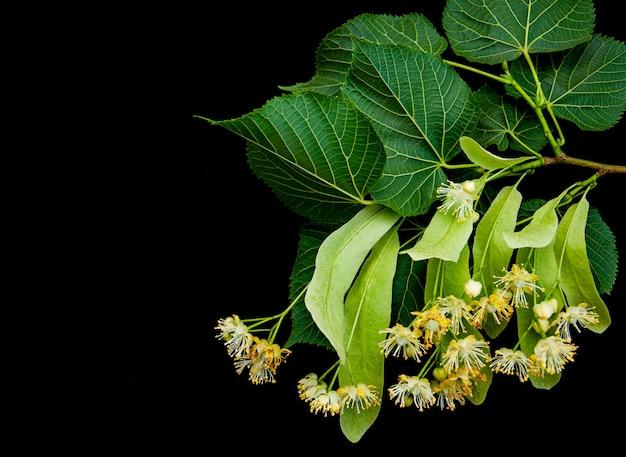 Lindenblumen lokalisiert auf schwarzem