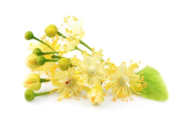 Lindenblumen lokalisiert auf weiß