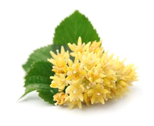 Lindenblumenmakro lokalisiert auf weißem hintergrund.