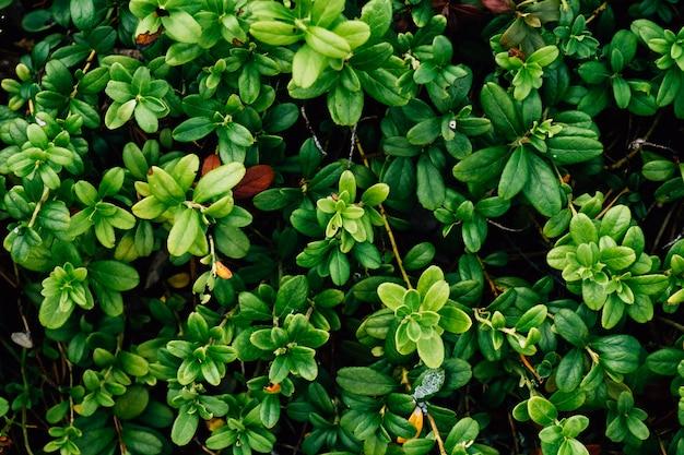 Lingonberry grün lässt musterhintergrund