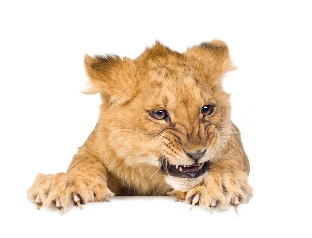 Lion cub (5 monate) vorne auf einem weißen isoliert