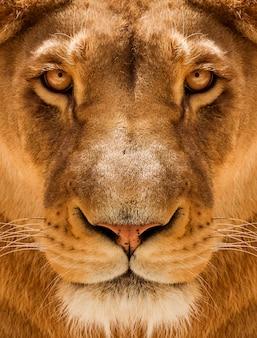 Lioness close-up porträt, gesicht eines weiblichen löwen