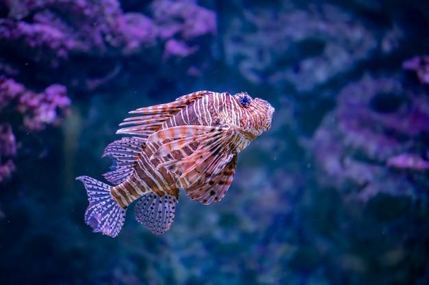 Lionfish im wasser
