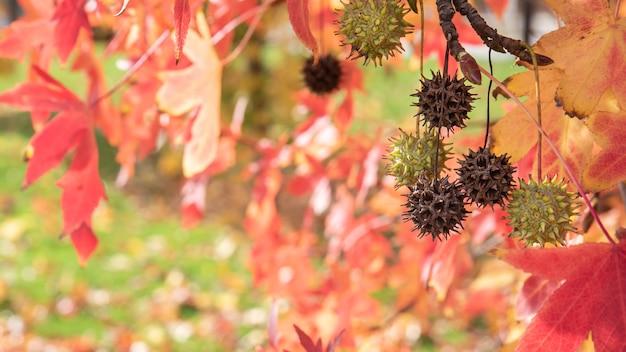 Liquidambar styraciflua altingiaceae mit seinen früchten im herbst