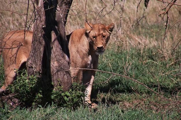 Löwe auf safari in kenia und tansania, afrika