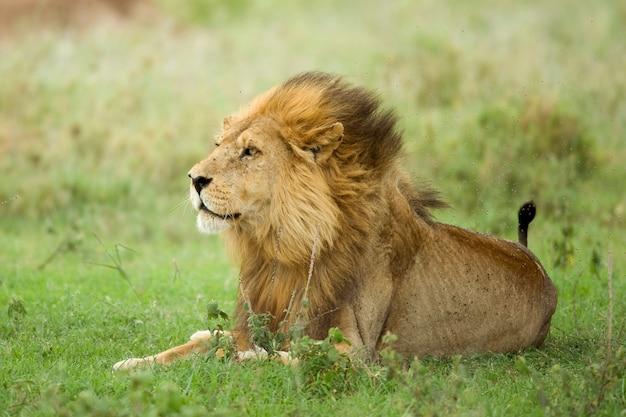 Löwe, der im gras im serengeti-reservat liegt