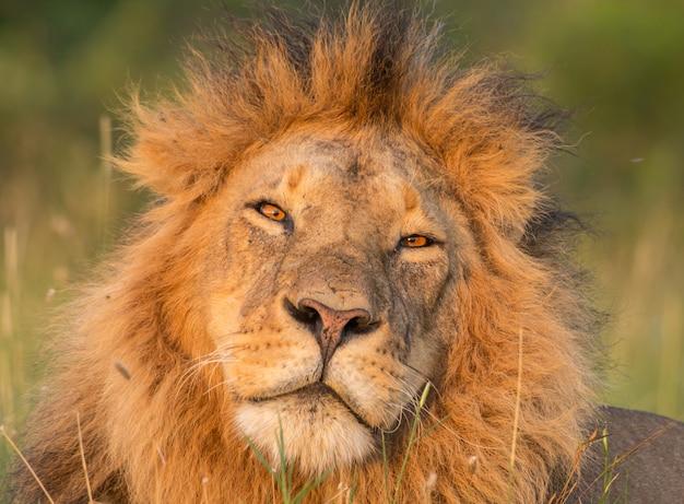 Löwe hautnah