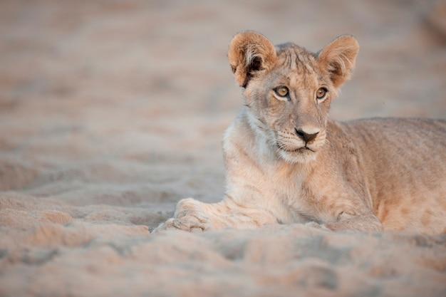 Löwe in cub kenia afrika