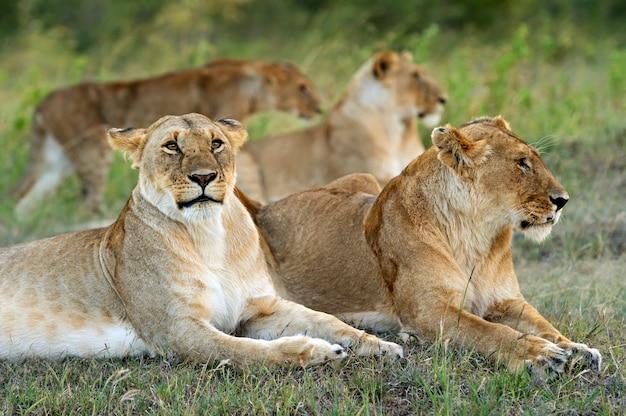 Löwe in der afrikanischen savanne masai mara