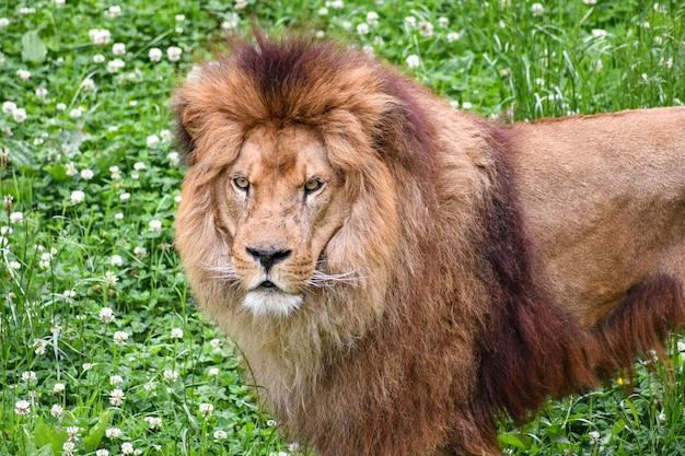 Löwe in einer natürlichen umgebung