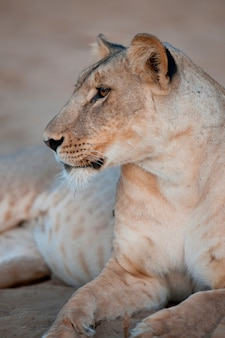Löwe in kenia afrika