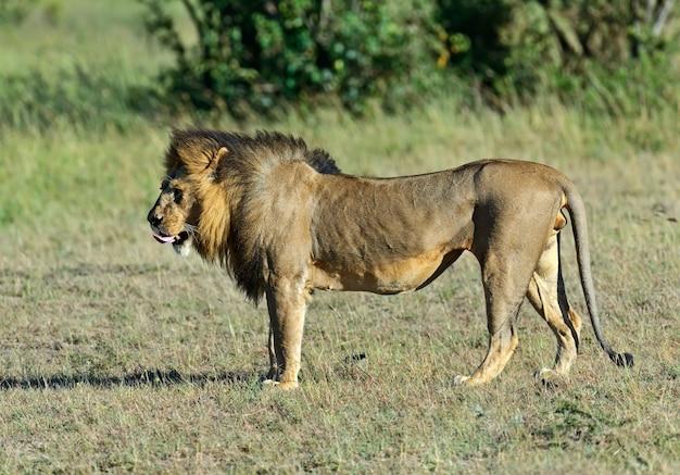 Löwe in seinem natürlichen lebensraum. afrika