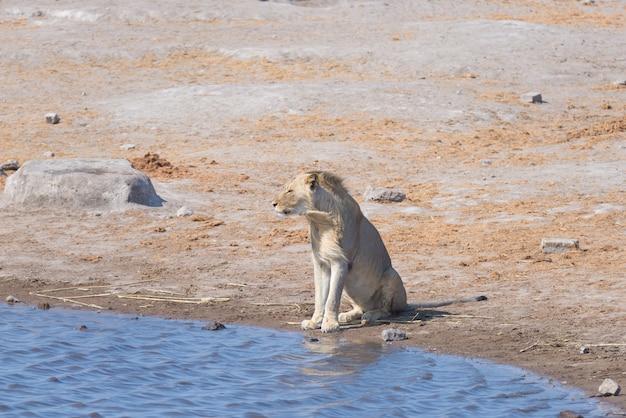 Löwe in wasserteich. wild lebende tiere in nationalpark etosha, reiseziel in namibia, afrika.