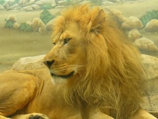 Löwe, tier