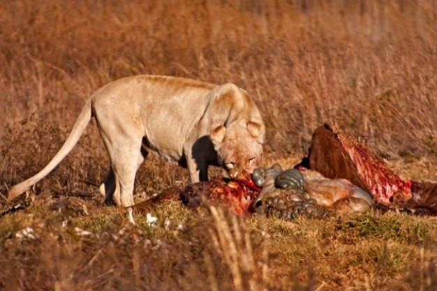 Löwen beute nsfw
