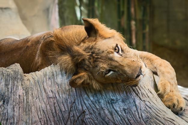 Löwen hautnah.