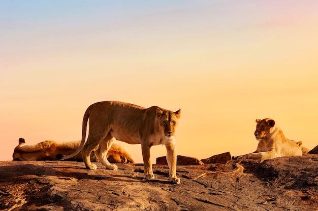 Löwen in kenia während des sonnenuntergangs