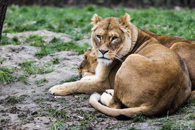 Löwen liegen auf dem boden, umgeben von grün mit einem verschwommenen hintergrund
