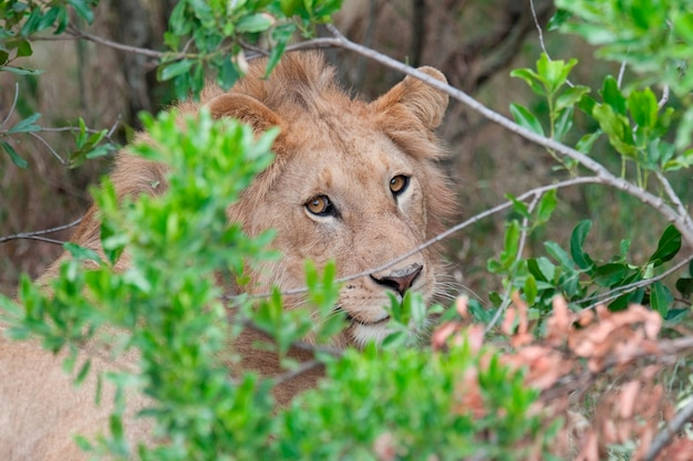 Löwen wildtiere in kenia