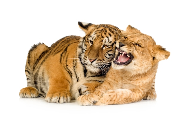 Löwenbaby (5 monate) und tigerbaby (5 monate) vor einem weißen