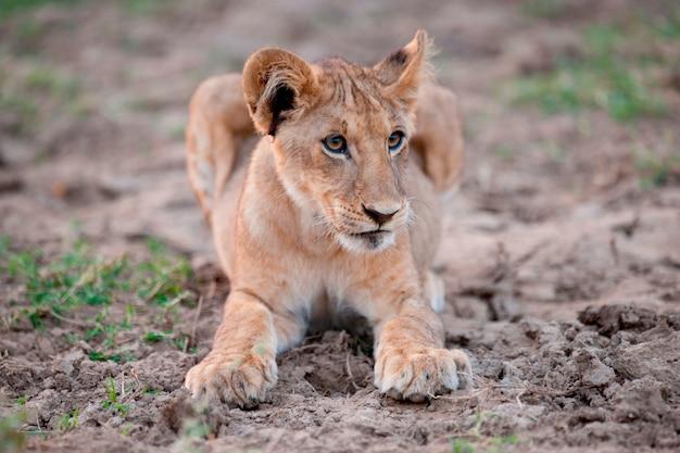 Löwenbaby in kenia afrika