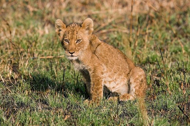 Löwenbaby sitzt im gras